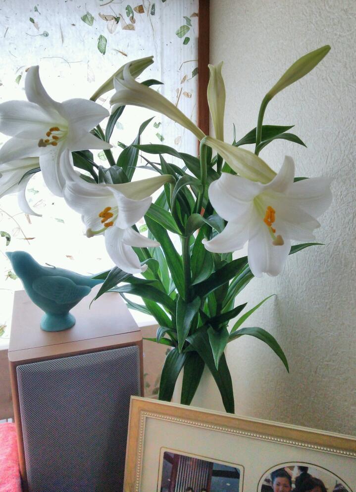 沖永良部島の花