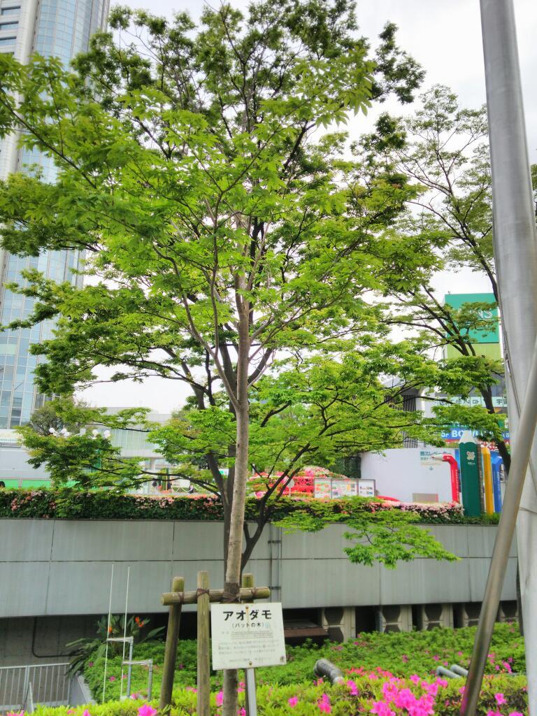 東京ドームのアオダモ