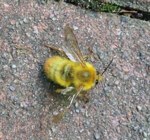 黄蜂:コマルハナバチのオス