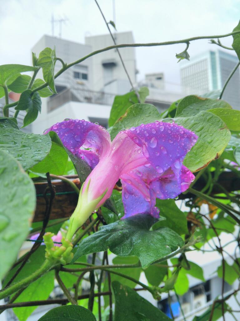 雨で切れた花びら