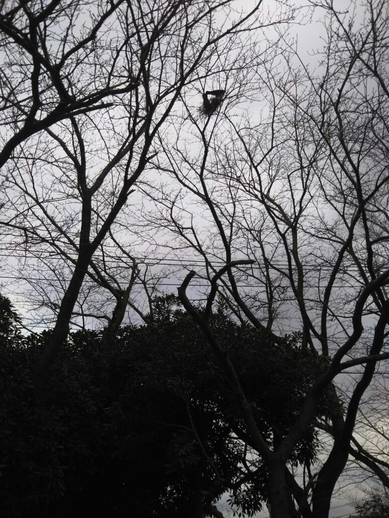 カラスの営巣始まる