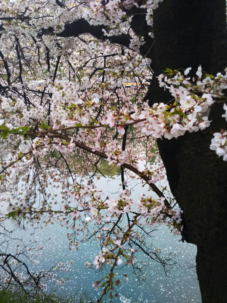 外堀の桜が満開