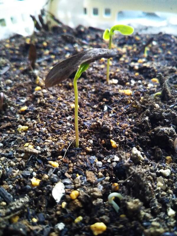 アオダモは一ヶ月で発芽する