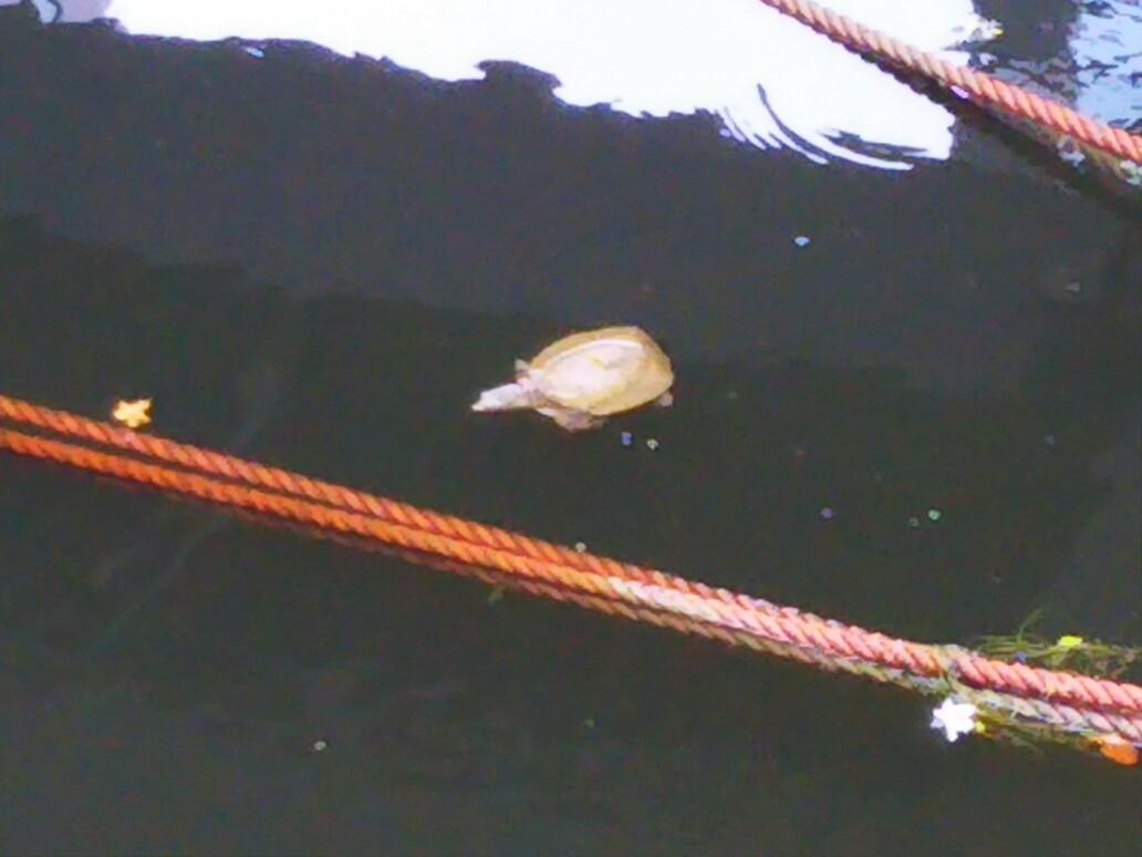 神田川のカメ類