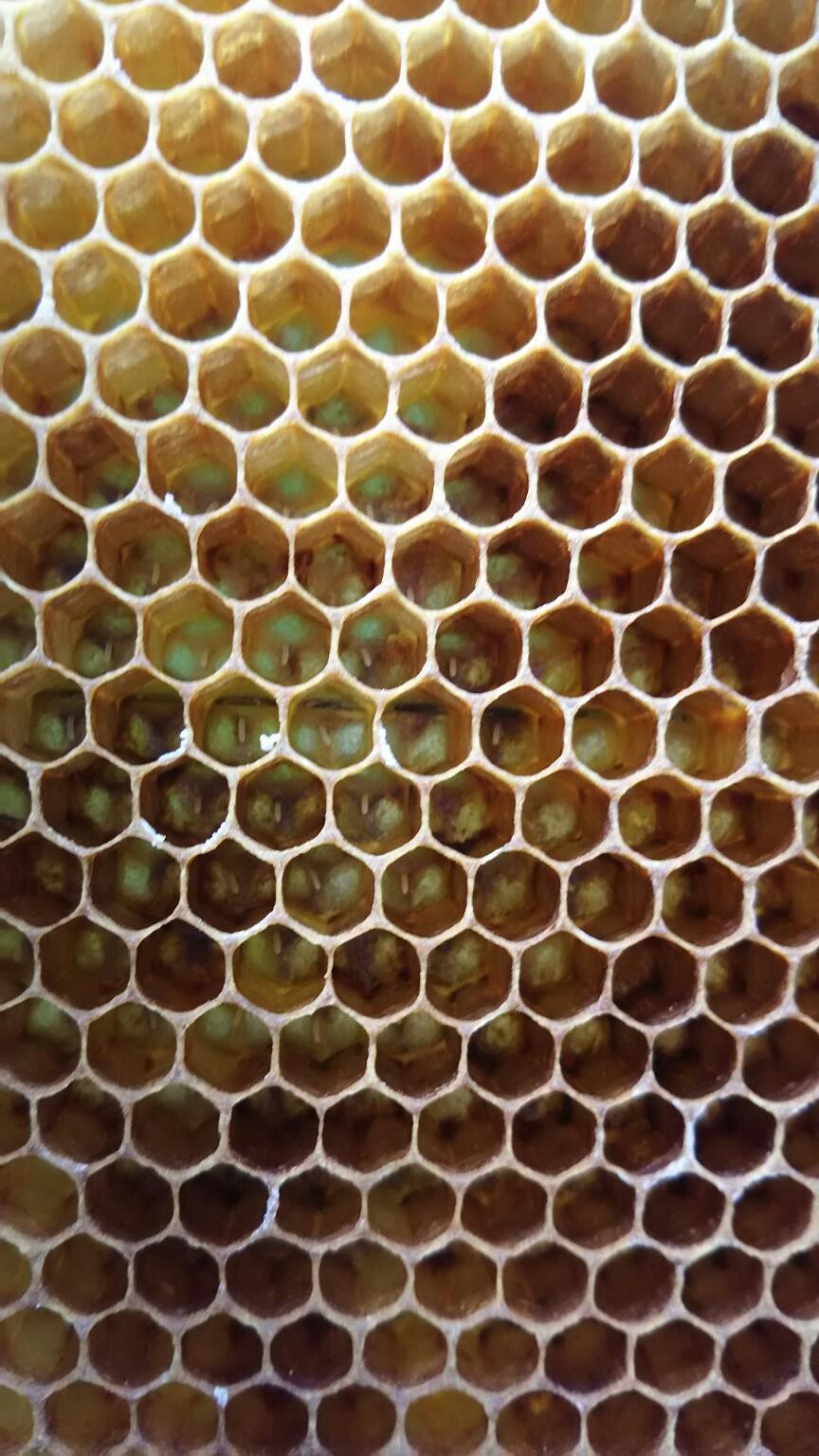 ミツバチ、すくすく