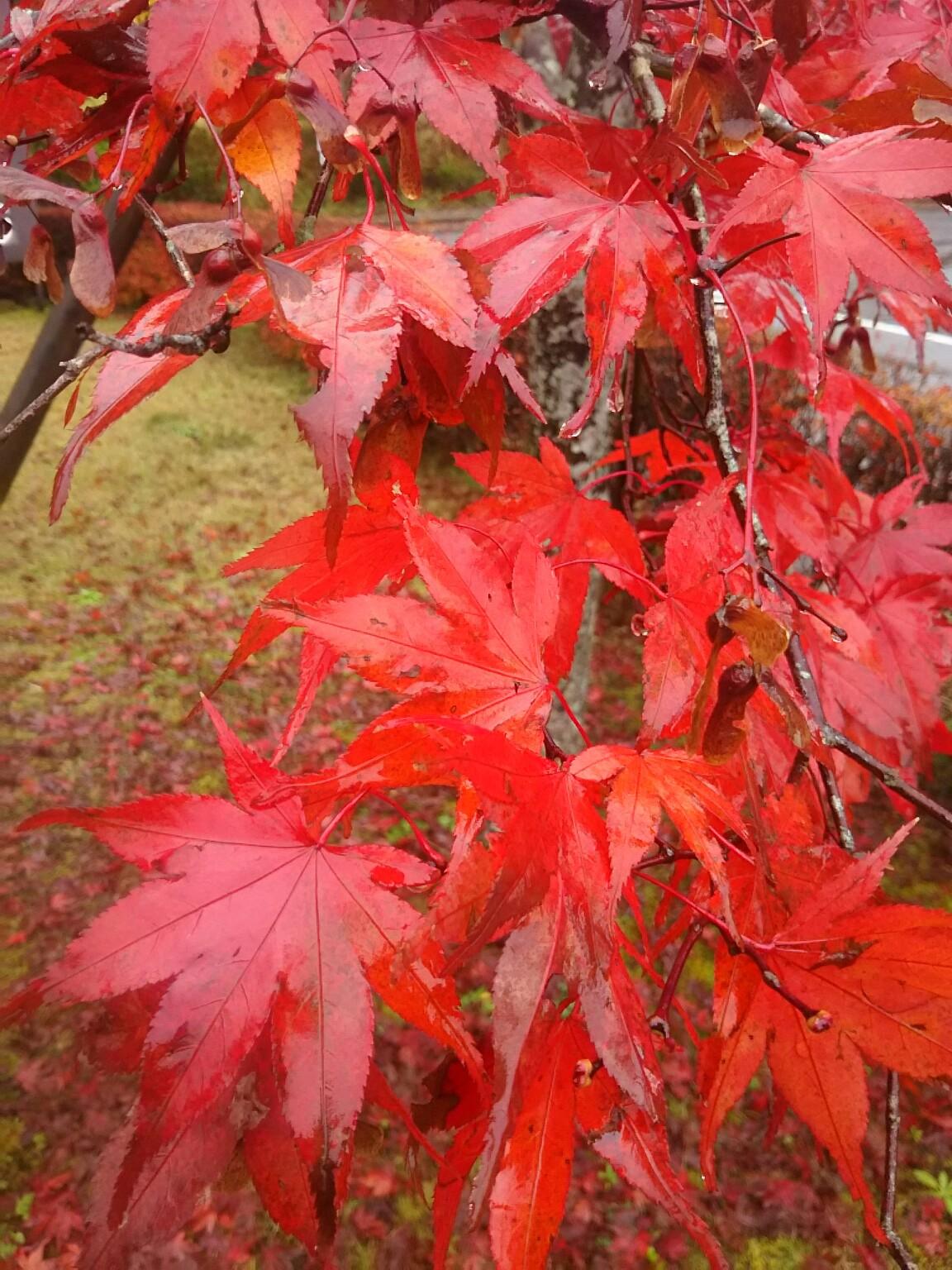 山中湖は紅葉見頃