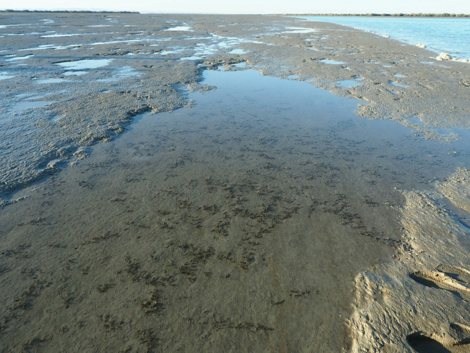 ペルシア湾の海草